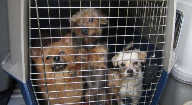 Have Cattle Dogs Rescued Humans