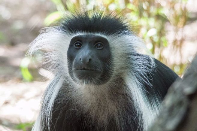 Mischievous monkey safe in his enclosure following daring escape