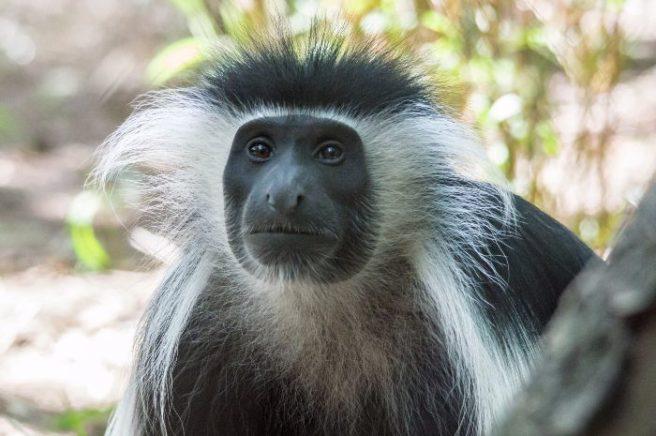 Escaped monkey returns to Fota Wildlife's vehicle park